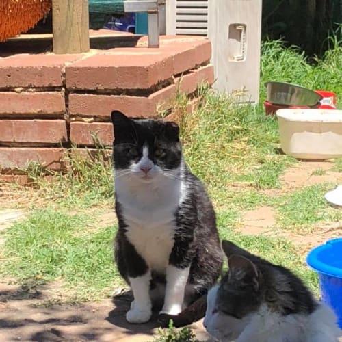 Peter 3 - Domestic Short Hair Cat