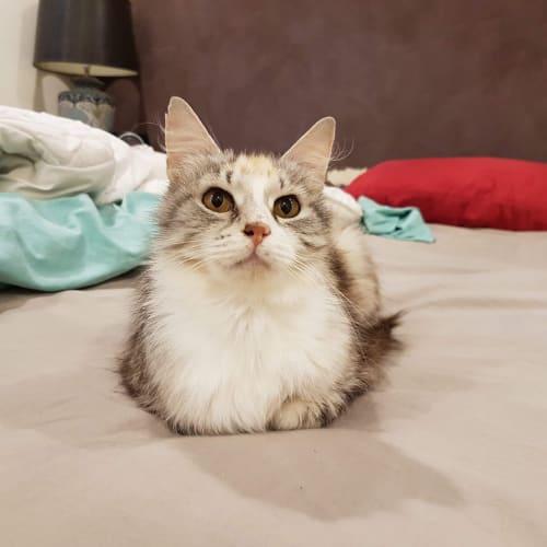 Gaia  - Domestic Long Hair Cat