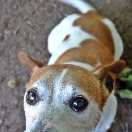 Oscar - Jack Russell Terrier Dog