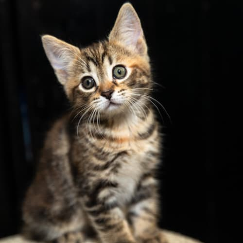 Nutella - Domestic Short Hair Cat