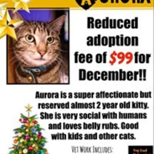 Aurora - Domestic Short Hair Cat
