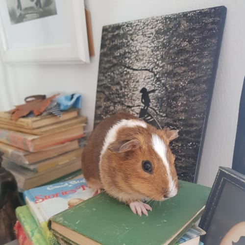 Ginger Snap and Clove -  Guinea Pig