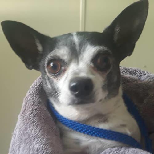 Spooky and Roxy - Chihuahua Dog