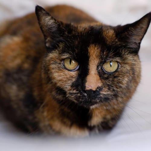 AC1022 - Peggy - Domestic Short Hair Cat