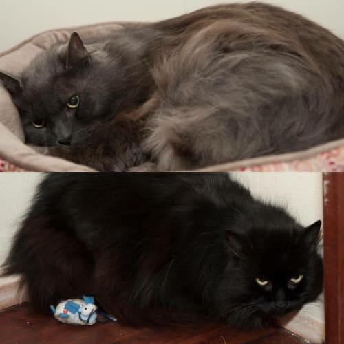 AC0977/AC0978 - Smokey & Silky - Domestic Long Hair Cat
