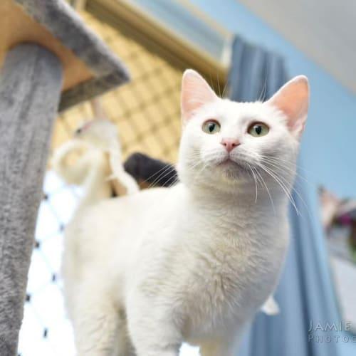 AC1008 - Dove - Domestic Short Hair Cat