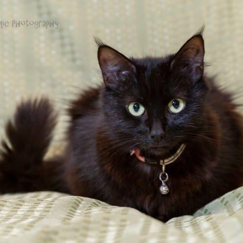 AC1037 - Amanda - Domestic Medium Hair Cat