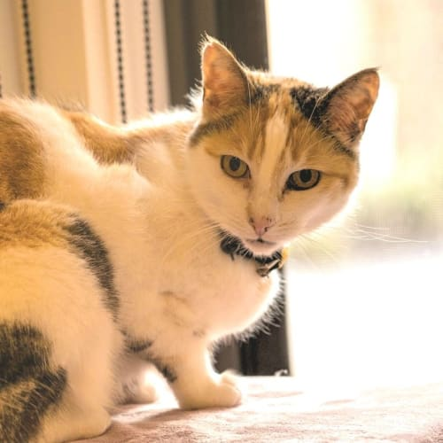 Cuddles - sweet and easy! - Domestic Short Hair Cat