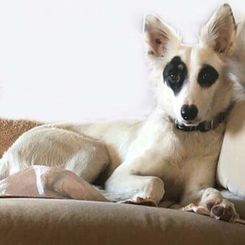 Ghost - Border Collie Dog