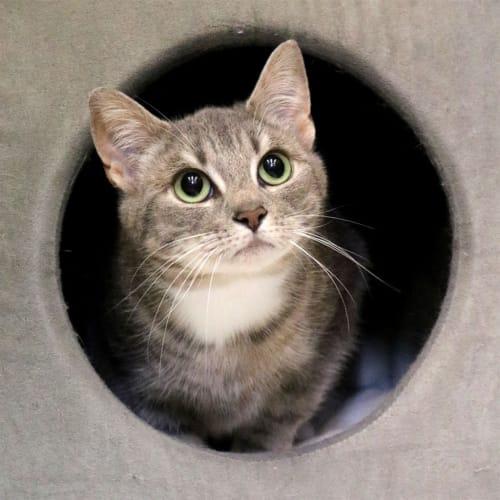 Vinda - Domestic Short Hair Cat