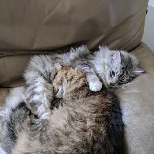 Charlie & Kovu (Located in Pakenham) - Domestic Medium Hair Cat