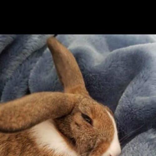 bowie benjamin - Rex Rabbit