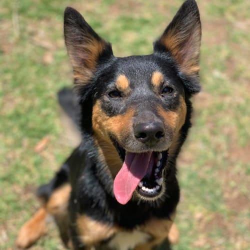 Pepi - Kelpie Dog