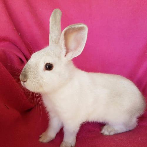 Flake - Dwarf lop Rabbit