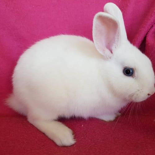 Scampers - Dwarf lop Rabbit