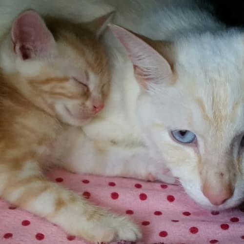 Opie - Siamese Cat