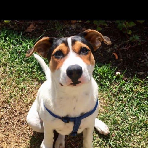 Aussie - Mixed Breed Dog