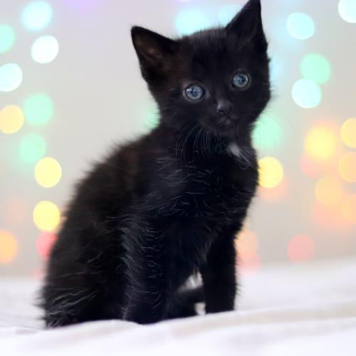 Moon Calf - Applications closed - Domestic Short Hair Cat