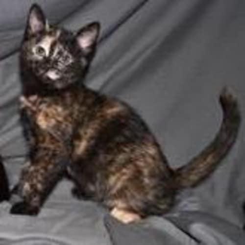 Dot - Domestic Short Hair Cat