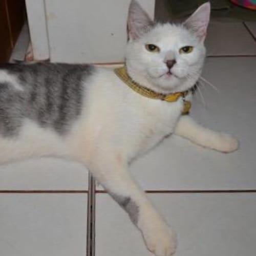 Razzle - Domestic Short Hair Cat