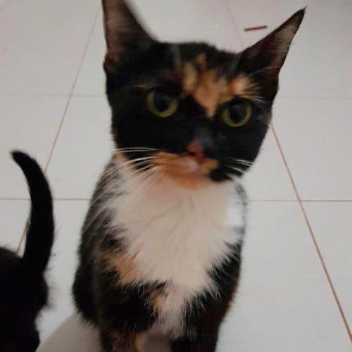 Bela - Domestic Short Hair Cat