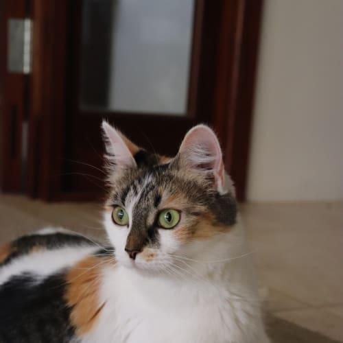 Gwyneth - Domestic Medium Hair Cat