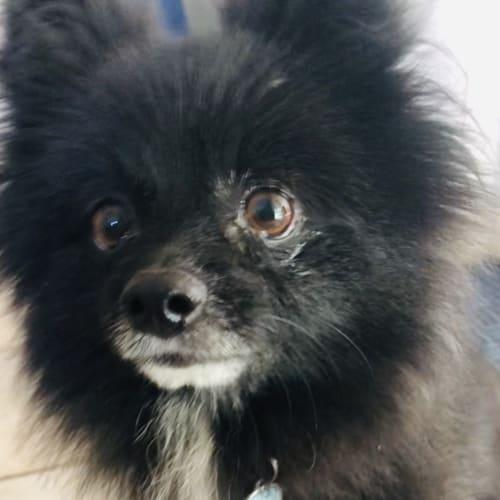 Wally 🥳 - Pomeranian Dog