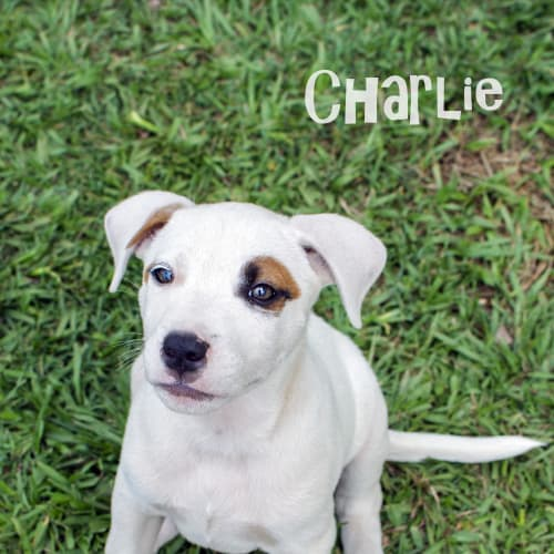 Charlie - Australian Cattle Dog x Beagle Dog