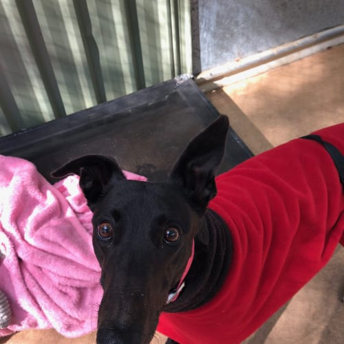 Primrose - Greyhound Dog