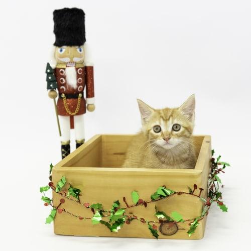Dancer - Domestic Short Hair Cat