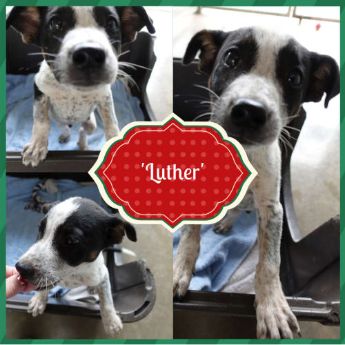 Luther  DG18-550 - Australian Cattle Dog x Mixed Breed Dog