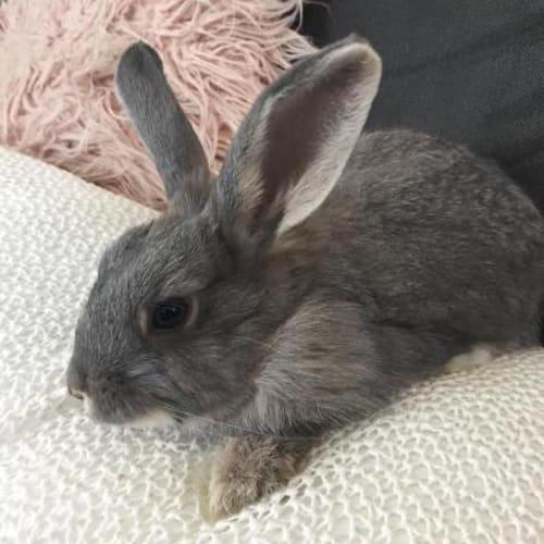 Coconut - Lop Eared Rabbit