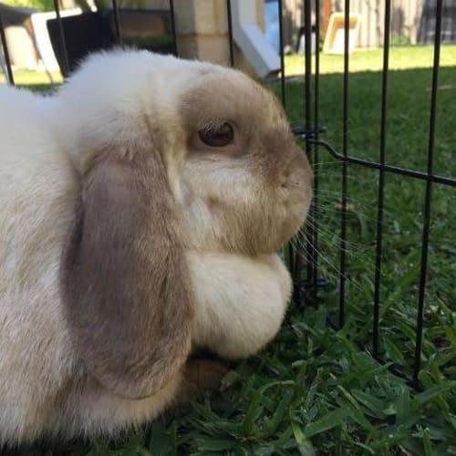 Rosie - Lop Eared Rabbit