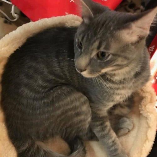 Clawd - Domestic Short Hair Cat