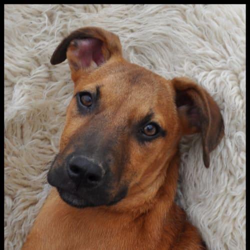 Tonka - Cross breed Dog