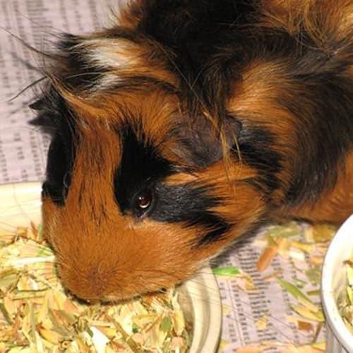 Milo 902476 - Guinea Pig
