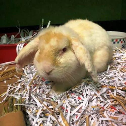 Alfalfa 906695 - Lop Eared Rabbit