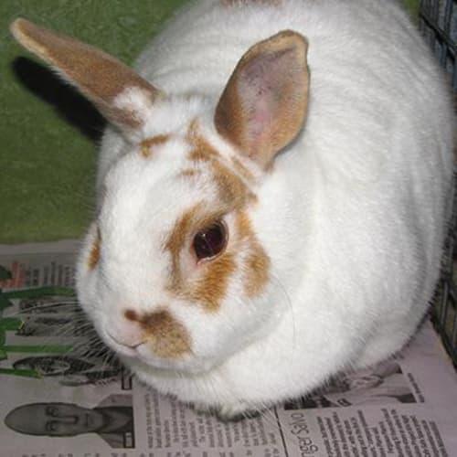 Peter 906247 - Domestic Rabbit
