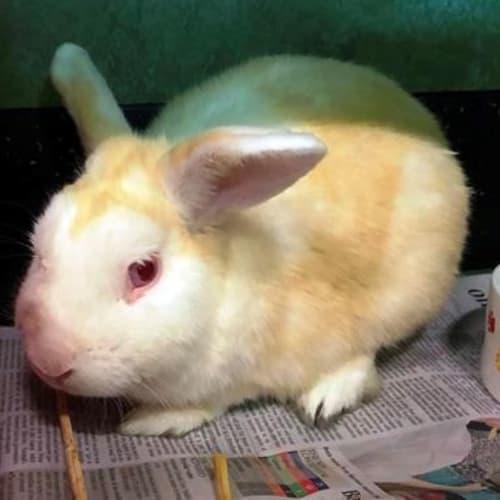 Brendan 906393 - American Sable Rabbit