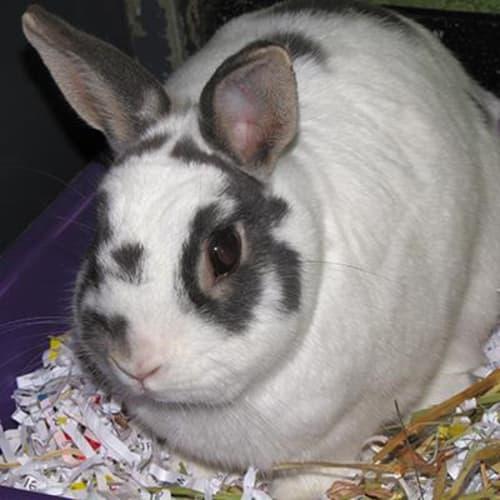 Rocky 906248  - Domestic Rabbit