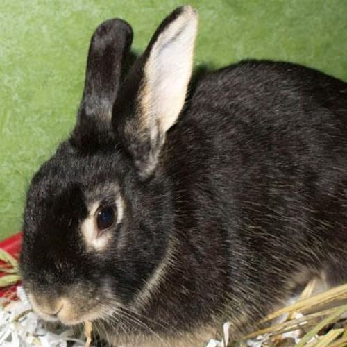 Zilla (adoption pending) 905525 - Dwarf Rabbit