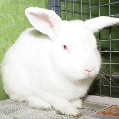Ken 906395  - Domestic Rabbit
