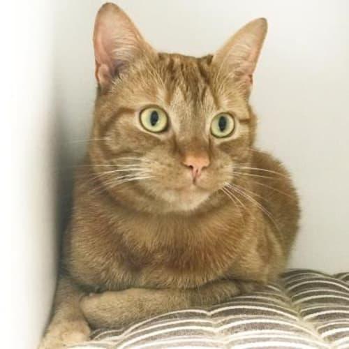 Ume 906930  - Domestic Short Hair Cat