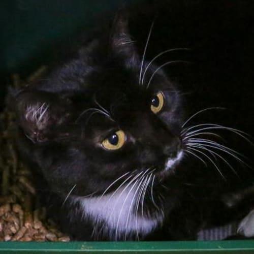 Sophie 883323  - Domestic Short Hair Cat