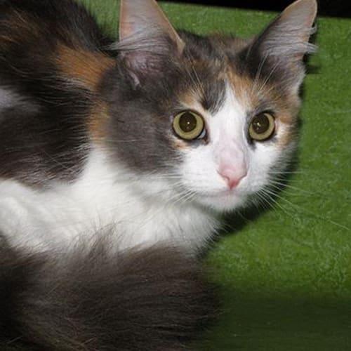 Casca 905781  - Domestic Medium Hair Cat