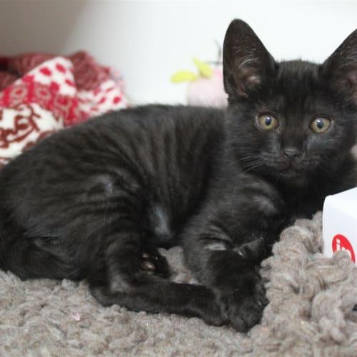 Sienna - Dsh Cat