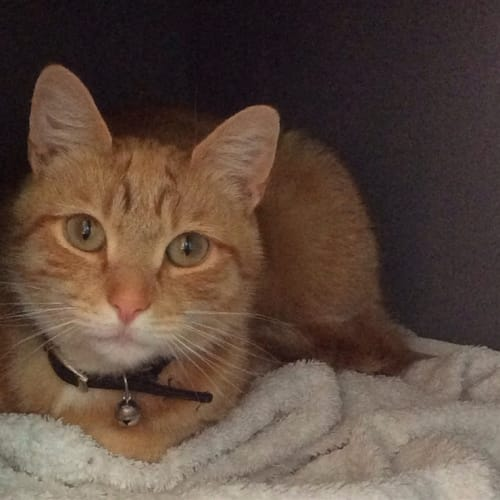 Porter - Domestic Short Hair Cat