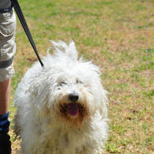Marley - Maltese x Poodle Dog