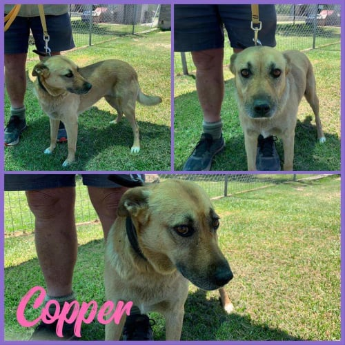 Cooper - Kelpie x Staffy Dog