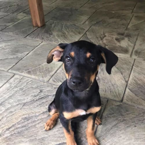 Piper - Kelpie Dog